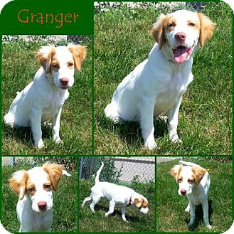 Brittany/Spaniel (Unknown Type) Mix Dog for adoption in Joliet, Illinois - Granger