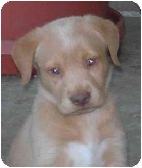 Labrador Retriever Mix Puppy for adoption in Rolling Hills Estates, California - Lab Pups