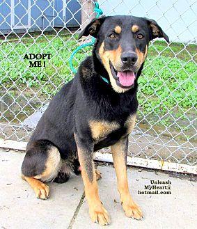 Shepherd (Unknown Type)/Doberman Pinscher Mix Dog for adoption in Hermosa, California - WoofMan's cuz