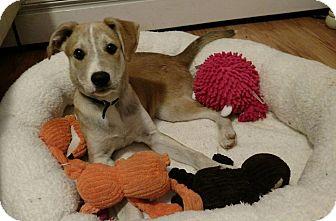 Labrador Retriever/Shepherd (Unknown Type) Mix Puppy for adoption in Lima, Pennsylvania - Larry
