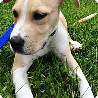 Adopt A Pet :: Knox - Meg - Kalamazoo, MI