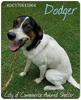 Foxhound Mix Dog for adoption in Commerce, Texas - Dodger