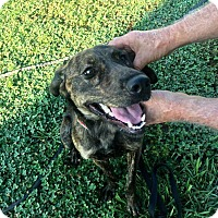 Adopt A Pet :: Roxie - Mooresville, NC