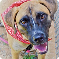 Adopt A Pet :: Belle-URGENT ADOPTED - Springfield, MA