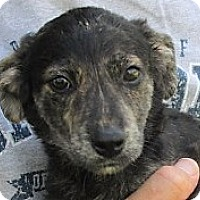 Border Collie/Feist Mix Puppy for adoption in Germantown, Maryland - Dubhe