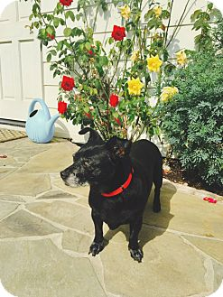 Chihuahua/Dachshund Mix Dog for adoption in Redondo Beach, California - Abby is sweet & mellow!