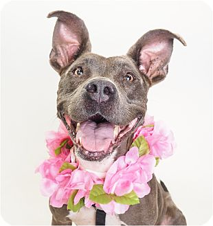American Pit Bull Terrier/American Staffordshire Terrier Mix Dog for adoption in Phoenix, Arizona - Cyan