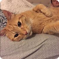 Adopt A Pet :: Pumpkin -$20 adoption fee - Jamestown, MI