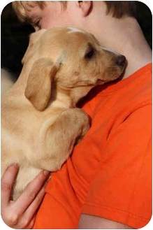 Basset Hound/Dachshund Mix Puppy for adoption in Prince William County, Virginia - makenzi