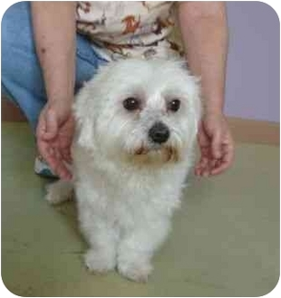 Maltese Dog for adoption in Windham, New Hampshire - Shrek