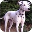 Photo 2 - Dalmatian Puppy for adoption in Mandeville Canyon, California - Bambi