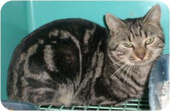 Bengal Cat for adoption in Gaffney, South Carolina - Gemini