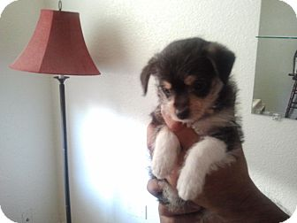 Chihuahua Mix Puppy for adoption in Houston, Texas - Alex