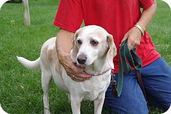Beagle Mix Dog for adoption in Elyria, Ohio - Sammie