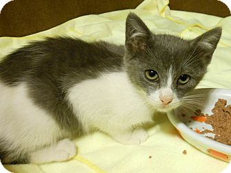 Domestic Shorthair Cat for adoption in White Settlement, Texas - Nokie-Adoption Pending