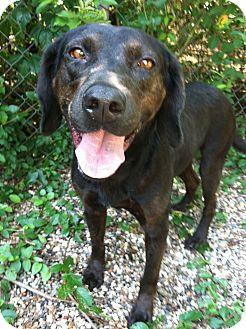 Labrador Retriever Mix Dog for adoption in Kingwood, Texas - Harry