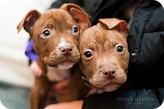 Pit Bull Terrier Mix Puppy for adoption in Reisterstown, Maryland - Litter of Red Male Puppies