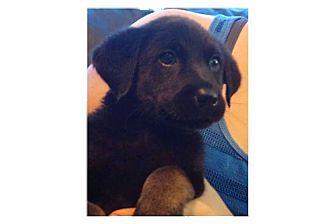 Labrador Retriever Mix Puppy for adoption in Pompton Lakes, New Jersey - Dazler