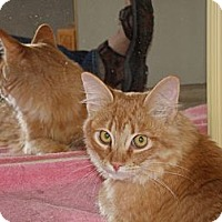 Maine Coon Cat for adoption in Scottsdale, Arizona - de Oro