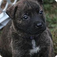 Adopt A Pet :: Cheyanne - Bloomsburg, PA