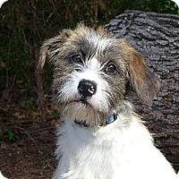 Adopt A Pet :: Shannon - Mocksville, NC