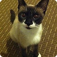 Adopt A Pet :: ASIA - FIV+ - Temple, PA