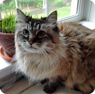 Himalayan Cat for adoption in Carlisle, Pennsylvania - Willow