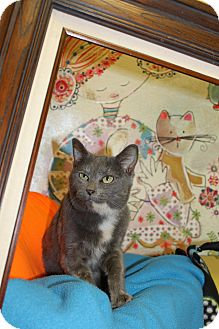 Domestic Shorthair Cat for adoption in HARRISONVILLE, Missouri - Abby