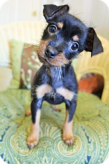 Miniature Pinscher Mix Puppy for adoption in Hagerstown, Maryland - Beetle