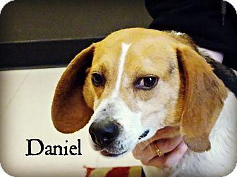 Beagle Mix Dog for adoption in Defiance, Ohio - Daniel