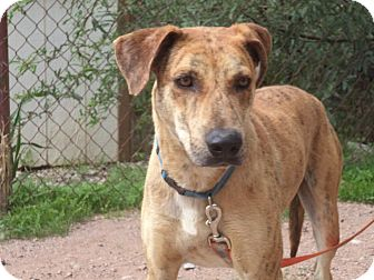 Pit Bull Terrier/Hound (Unknown Type) Mix Dog for adoption in Huachuca City, Arizona - Owen