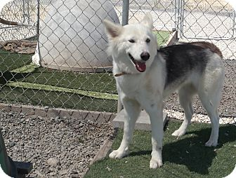 Husky Mix Dog for adoption in San Pablo, California - SHADOW