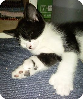 Hemingway/Polydactyl Kitten for adoption in North Highlands, California - PolyPocket