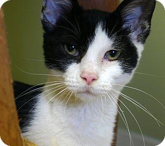 Manx Kitten for adoption in Hastings, Nebraska - Stubby