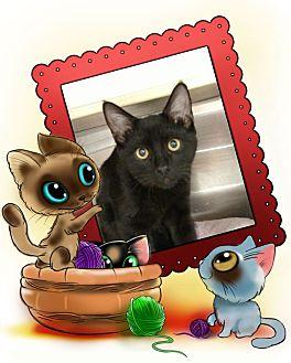 Domestic Shorthair Kitten for adoption in Pueblo West, Colorado - Count