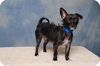 Chihuahua/Rat Terrier Mix Dog for adoption in Frankfort, Illinois - Scrappy