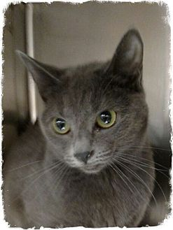 Russian Blue Cat for adoption in Pueblo West, Colorado - Alexandria