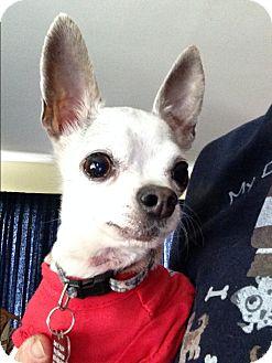 Chihuahua Dog for adoption in Salem, Oregon - Buddy2