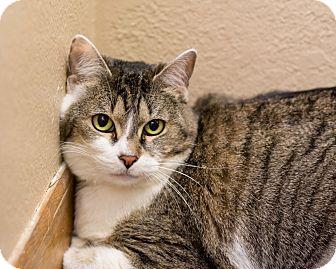 Domestic Shorthair Cat for adoption in Fountain Hills, Arizona - Rhonda
