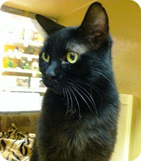 Domestic Shorthair Cat for adoption in Fenton, Missouri - PRINCESS BK