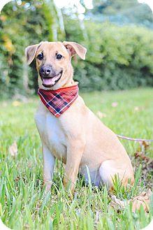 Labrador Retriever Mix Puppy for adoption in Castro Valley, California - Anida