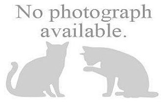 Domestic Shorthair Kitten for adoption in Hampton, Virginia - CARLOTON 2