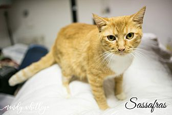 Domestic Shorthair Cat for adoption in Franklin, Tennessee - Sassafras