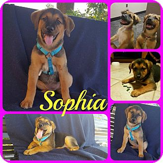 Hound (Unknown Type)/Shepherd (Unknown Type) Mix Puppy for adoption in Ft Worth, Texas - Sophia