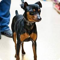 Adopt A Pet :: Dino - Rigaud, QC