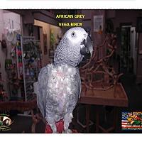 """Adopt A Pet :: African Grey """"Vega Birdy"""" - Vancouver, WA"""