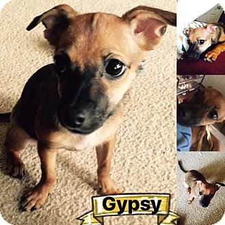 Chihuahua Mix Puppy for adoption in Mesa, Arizona - Gypsy
