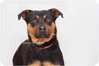 Rottweiler Mix Dog for adoption in Reed City, Michigan - PERCY