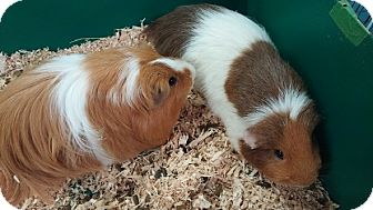 Guinea Pig for adoption in Aurora, Colorado - Cookie and M&M