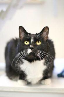 Domestic Shorthair/Domestic Shorthair Mix Cat for adoption in Williamsburg, Virginia - Shadow